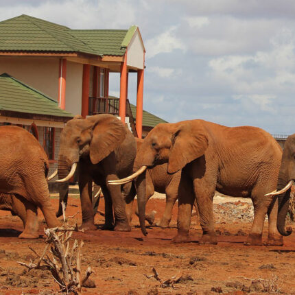 Elephant Tsavo east