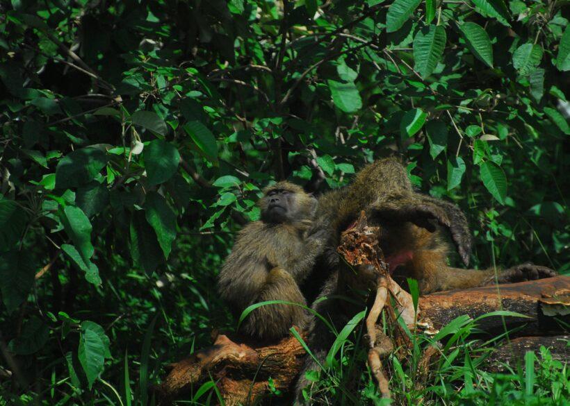 baboon-4702568_1280