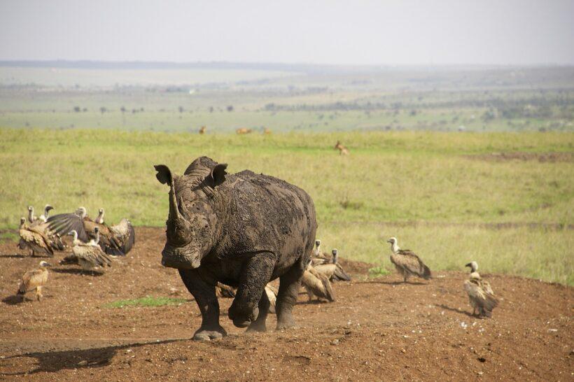 rhino-637797_1280