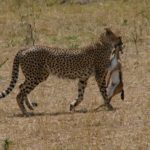 cheetah-2066793_1920-150×150